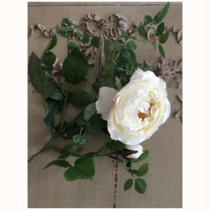 Rose anglaise blanche